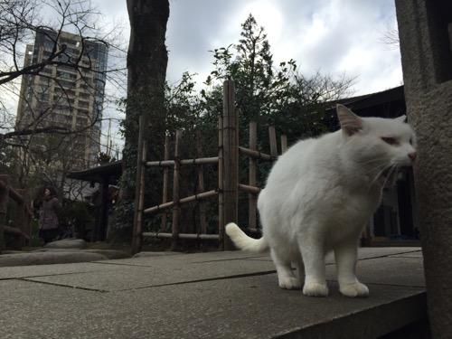 愛宕神社の白猫の小さな欠伸(あくび)