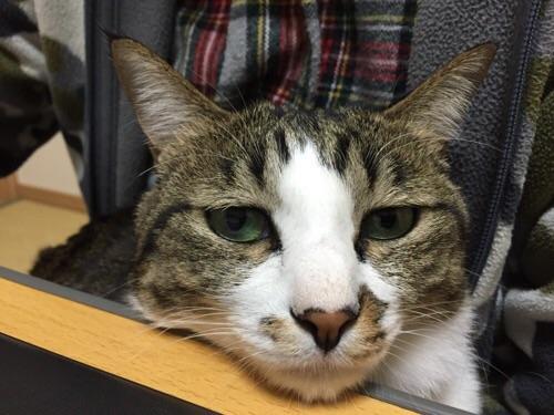 こたつテーブルの端に顎をのせる猫ーゆきお(正面からの様子)