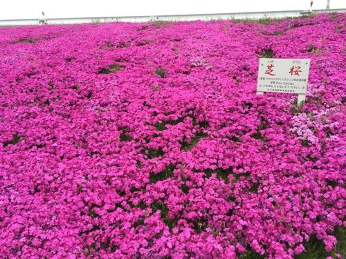 柴又七丁目付近の江戸川の土手に咲く芝桜