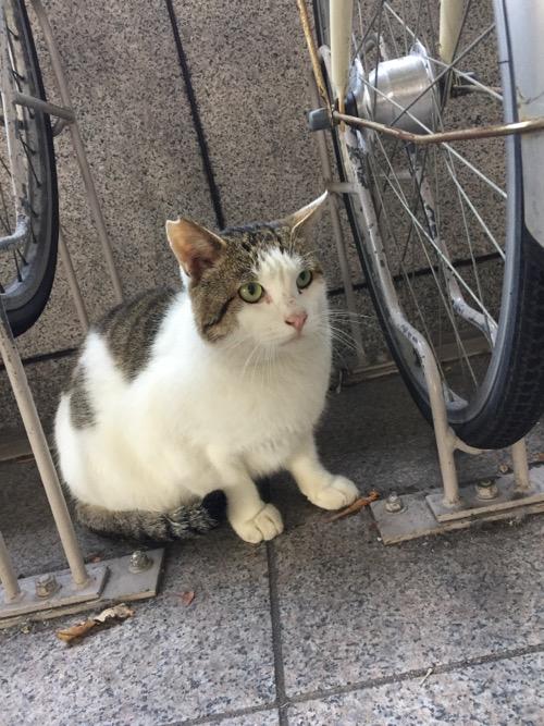 岡山県立図書館駐輪場の自転車の車輪の間に座る白くて丸々した猫