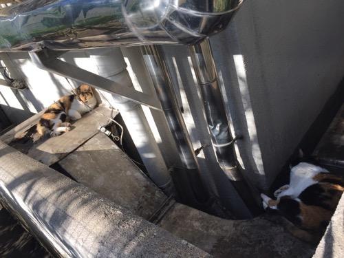 お昼の陽射しの中で眠る桜田公園の白茶黒の猫2匹