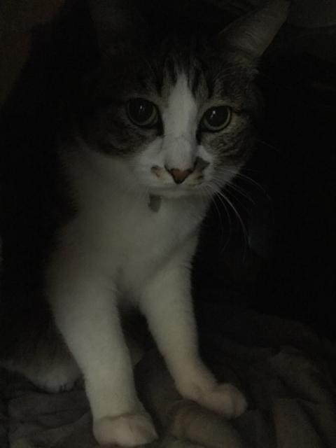 こたつ布団の上に座りノートパソコンの上に顎を乗せてパソコン画面を見つめる猫-ゆきお