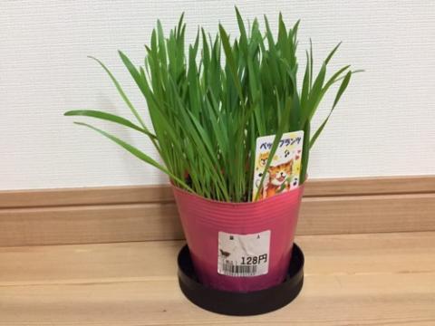 猫の草「いぬ・ねこの草-ペットプランツ」