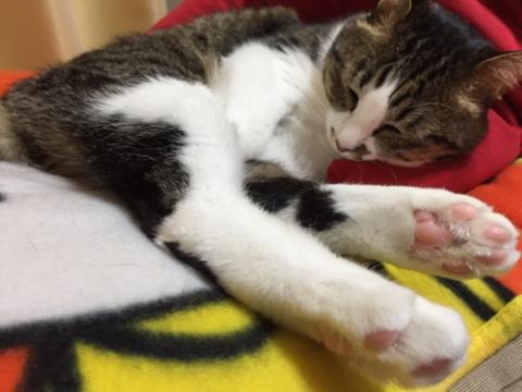 手を股に挟み、足の肉球を見せて眠る猫-ゆきお