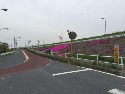 江戸川の土手に咲く芝桜が綺麗