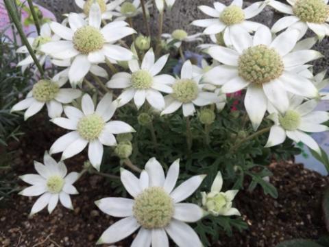 自宅の庭に咲いている天使のウィンク(フランネルフラワー)の花が可愛らしい