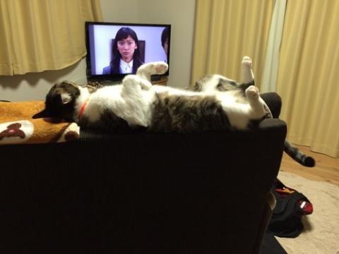 ソファーの背もたれの上で仰向けに寝ながらテレビを観る猫-ゆきお
