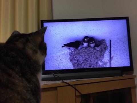 ツバメのヒナの動画に夢中な猫-ゆきお