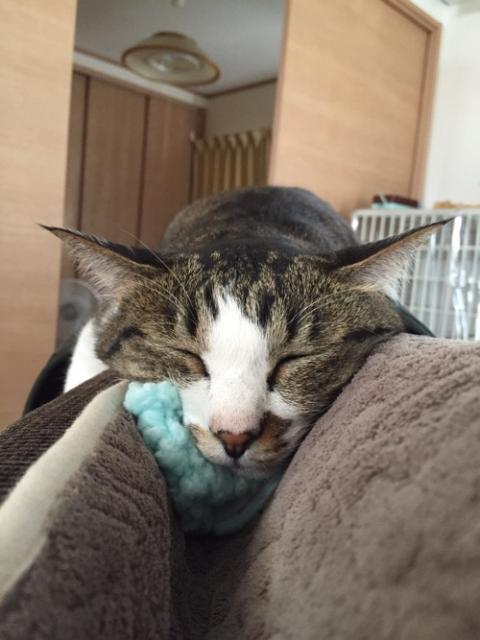 ねこひつじちゃんを枕代わりに顎の下に置いて眠る猫-ゆきお