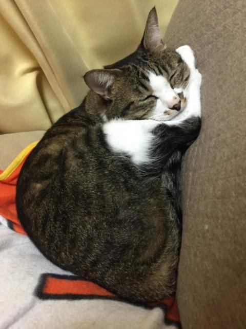 後脚の上に顎を乗せて眠る猫-ゆきお