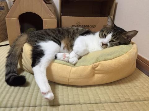 猫ベッドを上下逆さまにして利用する猫-ゆきお