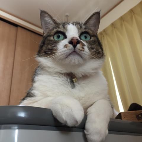 コタツテーブルから前脚を垂らして上を見る猫-ゆきお