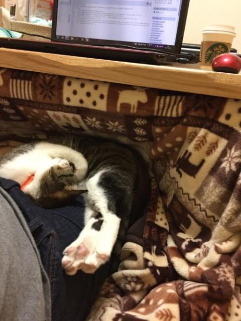コタツに入る膝の上で眠る猫-ゆきお