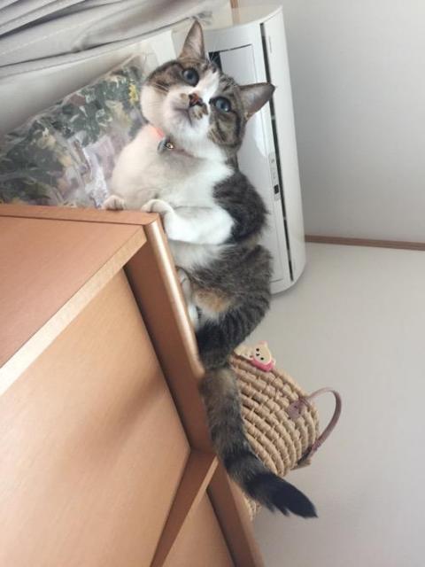 本棚の天板の端を爪と肉球でつかんで座る猫-ゆきお