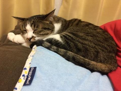 ドギーマン さらふわマットの上で眠る猫-ゆきお