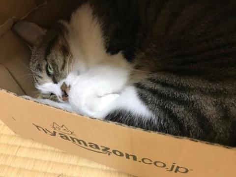 nyamazonの箱の中で横たわりながらギョロリと見つめる怖い猫-ゆきお