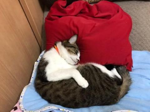 赤いビーズクッションを枕にして幸せそうに眠る猫-ゆきお