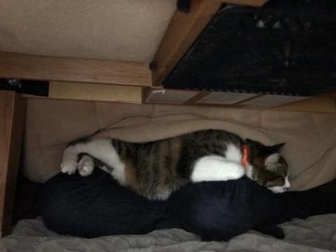 こたつの中の飼い主の膝上で面白い座り方をする猫-ゆきお