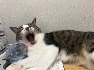 ペットボトルを枕にして大欠伸をする猫-ゆきお
