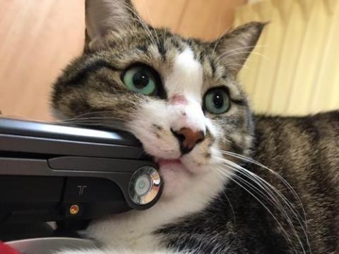 ノートPC・VAIOの角に牙を立てる猫-ゆきお