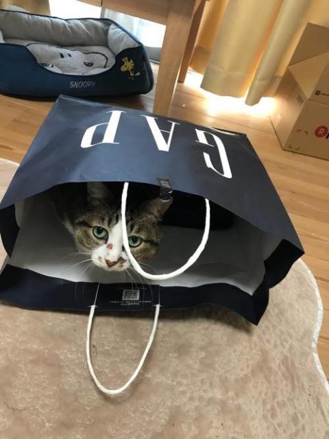 GAPの紙袋の中に入る猫-ゆきお、中学一年生の娘の膝上に移動してスヤスヤ眠る