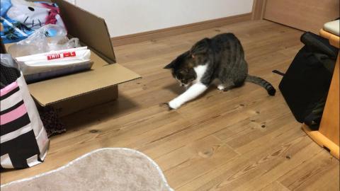 髪ゴムで一人遊びをする猫-ゆきお