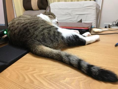 dynabookを枕にして寝ながら尻尾をフリフリしたり、変な寝方をする猫-ゆきお
