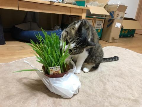 猫草を「まだ食べよん?」と尋ねる飼い主に「にゃあ」と返事する猫-ゆきお