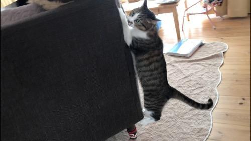 ソファーの壁をガジガジとよじ登ろうとする猫-ゆきお