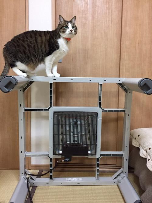 横になった正方形のコタツ台の上に立つ猫-ゆきお