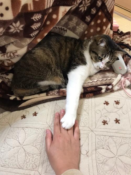 手の甲に右前足を乗せてくる猫-ゆきお