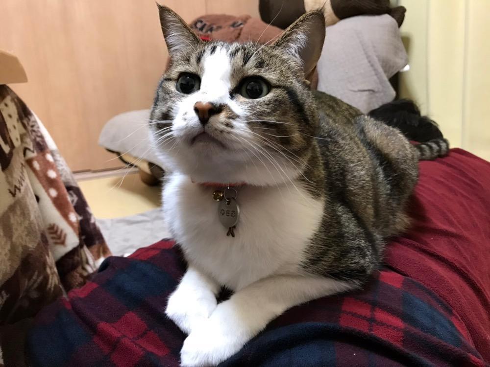 寝息を立てる中年男のお尻に前脚を置いてバランスを取る猫-ゆきお(上から見た様子)