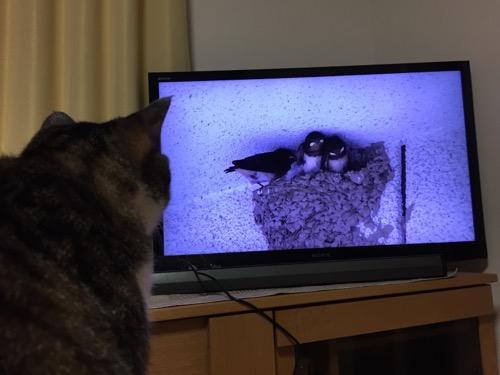 ツバメのヒナの動画を眺める猫-ゆきお