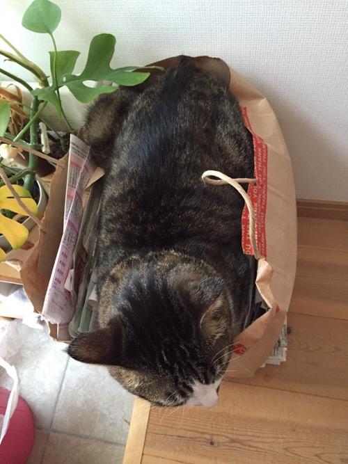 紙ゴミの入った紙袋の中にいる猫-ゆきおを上から眺めた時の様子