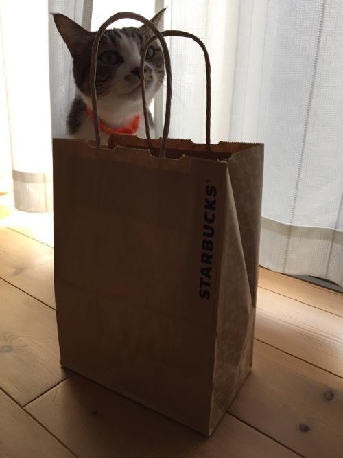 スターバックスの紙袋に近寄り取っ手の紐に鼻を付ける猫-ゆきお