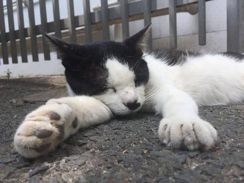 東京都港区新橋の桜田公園のアスファルトの木陰で両前脚を前方に突き出して肉球を見せつけながら眠る白黒猫