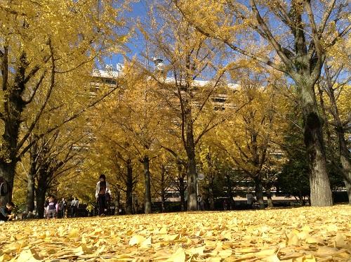 銀杏並木の落ち葉で埋め尽くされた熊本県庁庁舎前