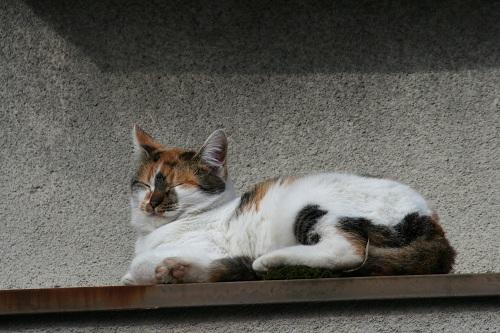 正覚寺のすぐ近くの民家の屋根の上にいた猫(拡大)〜左後ろ脚の下には、緑色の苔の塊がある〜