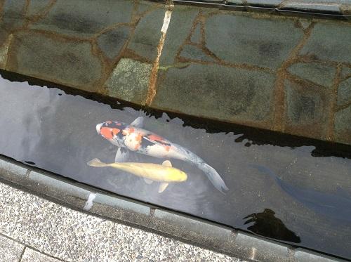 「おはなはん通り」(愛媛県大洲市 旧裏町三丁目)の通り沿いの川で泳ぐ鯉