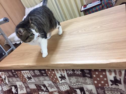 長方形の新しいコタツテーブルの上を歩く猫-ゆきお