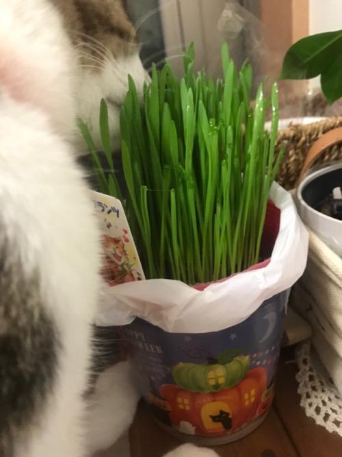 ハロウィン仕様の缶から生える猫草を食べる猫-ゆきお