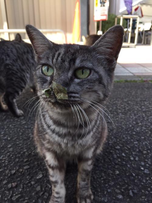 平成28年秋の砥部焼き祭りの会場にいた鼻に葉っぱを付けた野良猫