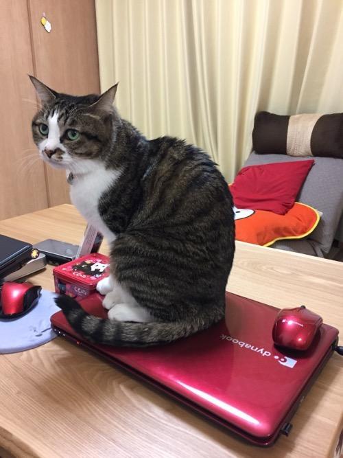 東芝Dynabookの上に座る猫-ゆきお