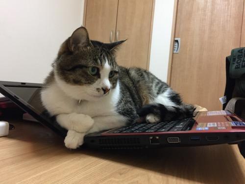 ノートパソコンの液晶とキーボードをリクライニングソファーみたいに使う猫-ゆきお