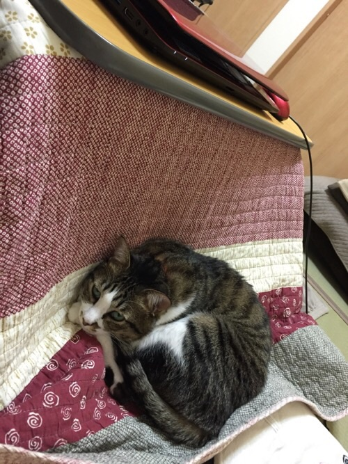 東芝の赤いノートパソコンが置かれたコタツテーブルの下のコタツ上布団の上に座る猫-ゆきお