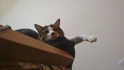 飼い主の左腕の上に座って左前脚を突き出す猫-ゆきお