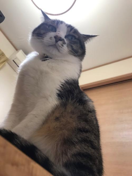 コタツテーブルからジロリと見下ろす猫-ゆきお