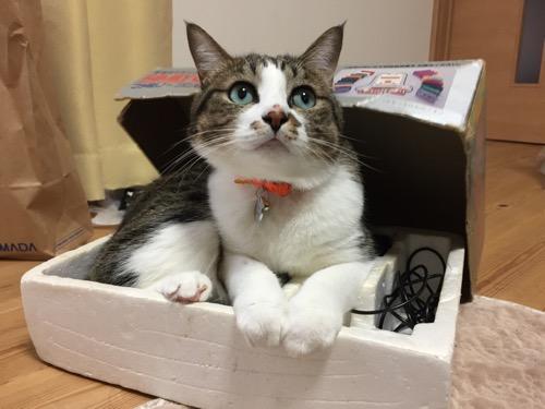 ファミコンの箱の中からファミコンの上蓋をかぶりながら飼い主達を見上げる猫-ゆきお