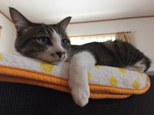 ソファーの上で手をダラリと垂らしてくつろぐ猫-ゆきお