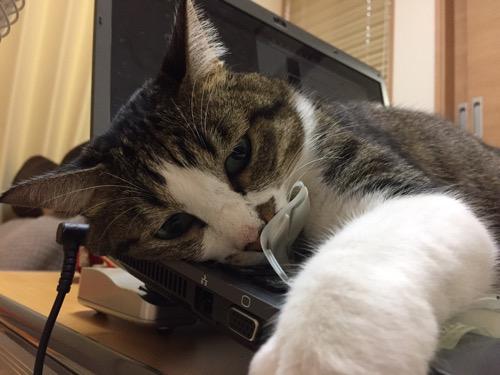 ノートパソコンSONY VAIOのキーボードの上に乗り、キーボードフィルターを剥がす猫-ゆきお